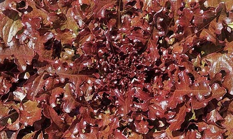 Come coltivare l 39 insalata da taglio consigli e trucchi per un pollice verde fatto in casa - Trucchi per taglio piastrelle ...