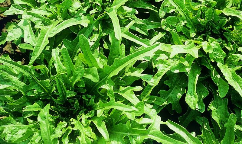 Come coltivare l 39 insalata da taglio consigli e trucchi for Insalata da taglio
